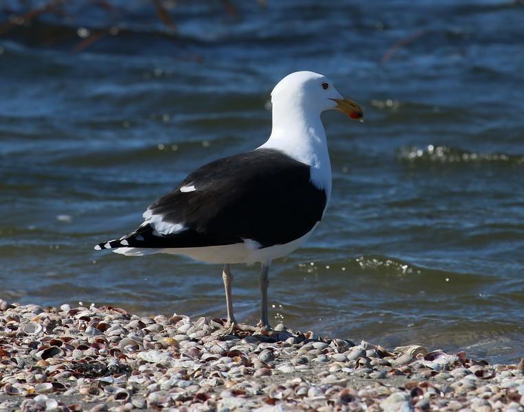 Black-Backed Gull 2-27-2017