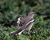 Northern Mocking Bird @ South Carolina - March 2009