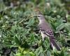 Northern Mocking Bird @ South Carolina - March 2009
