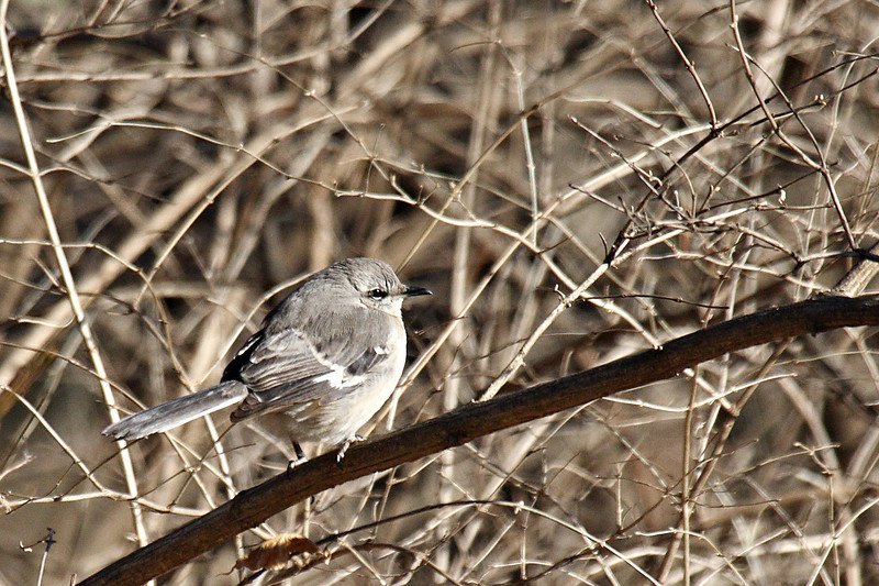 Northern Mockingbird @ Greenlawn Cemetery, January 2008