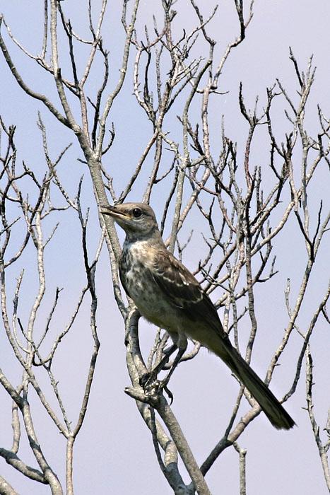 Mockingbird @ Back National Wildlife Refuge, Virginia Beach, VA - August 2005