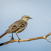 Northern Mockingbird, Merritt Island National Wildlife Refuge, Florida