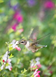 Hummingbird at the MN Landscape Arboretum