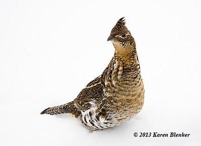 Ruffed Grouse taken Dec 2013