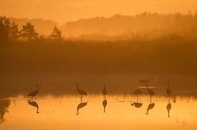 Sandhill cranes at sunrise, Crex Meadows, WI