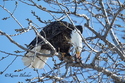 Bald Eagle eating fish2