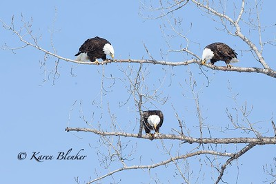 Bald Eagle trio