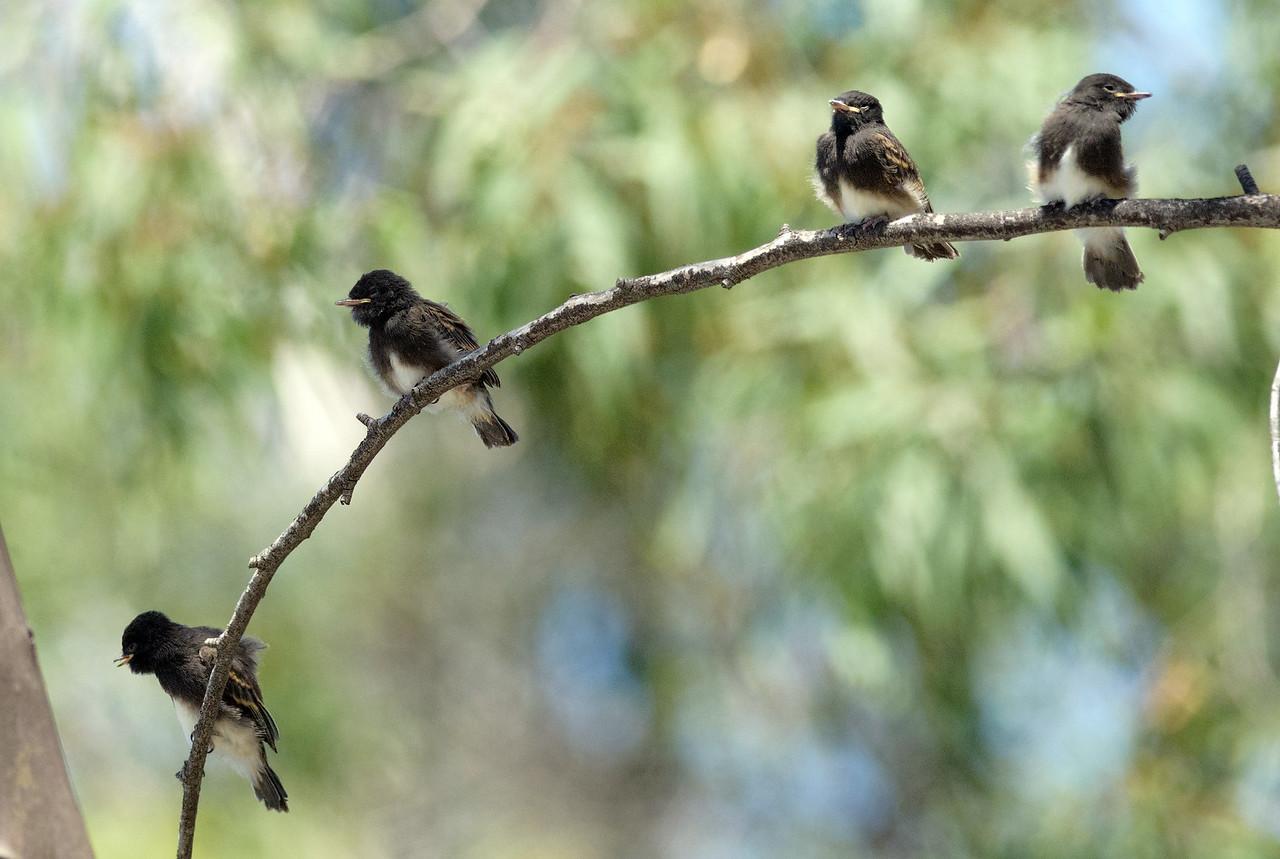 Black phoebe fledgelings