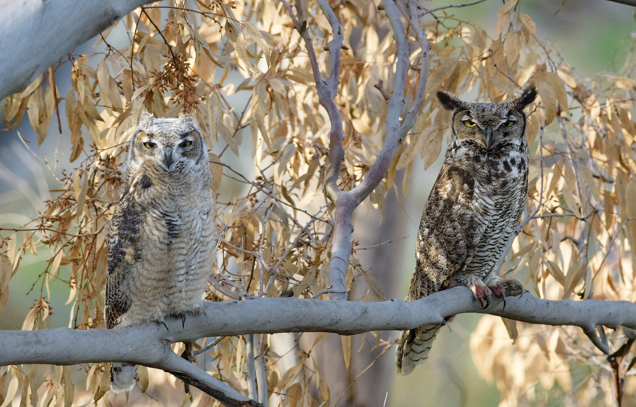 Great-horned Owl and fledgling