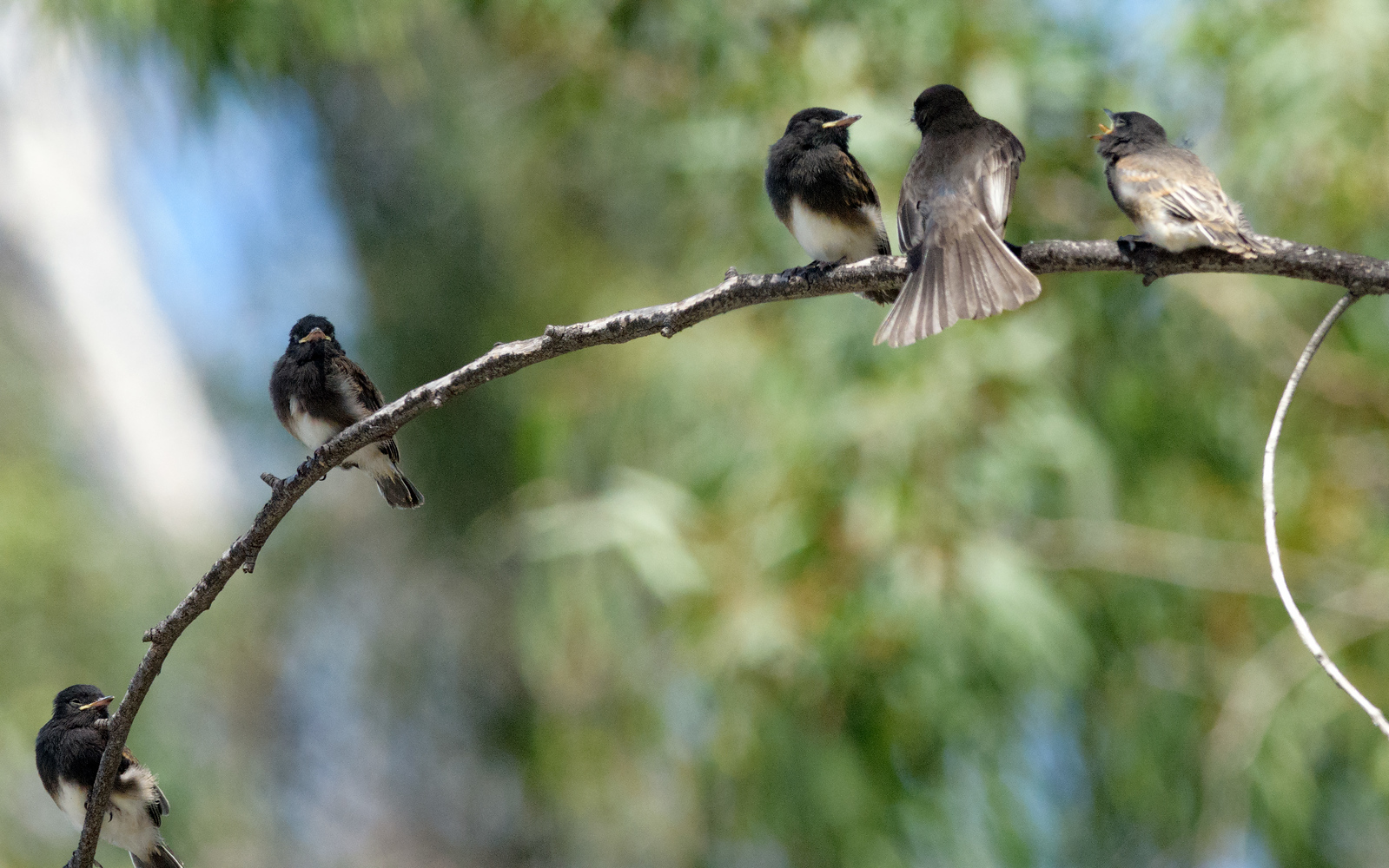Black phoebe fledgelings & mom