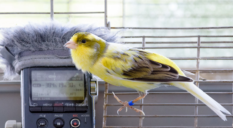 Gizmo the Canary