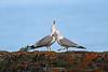 Gull courtship