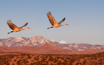 Sandhill cranes and moonset