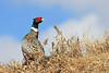 Pheasant on hill