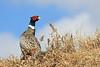 Pheasant on hill