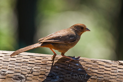 California Towhee Looking for some eats