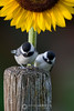 Baby chickadees and sunflower