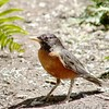 American Robin <br /> Bridgeton, MO<br /> 2004-06-20 <br /> <br /> No. 14 on my Lifetime List of Bird Species <br /> Photographed in Missouri