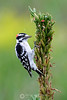 Downy woodpecker on weed