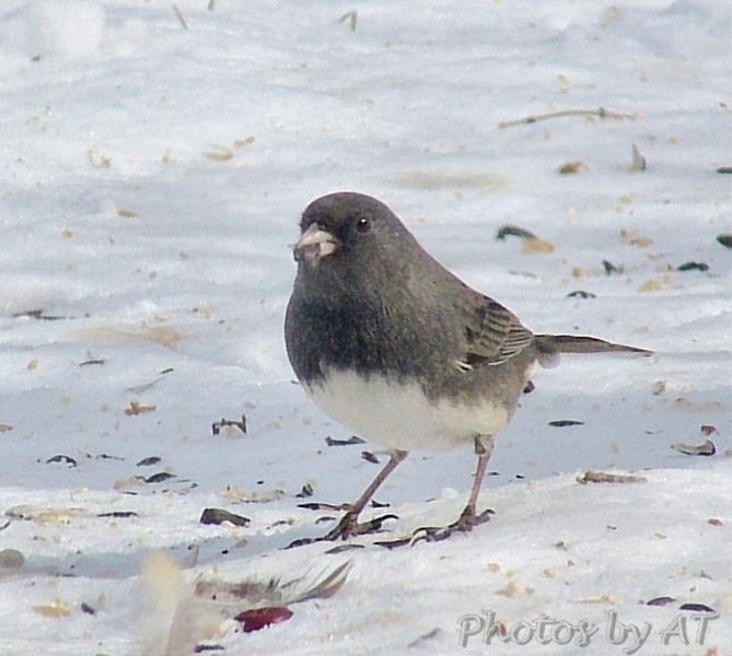 Dark-eyed Junco <br /> Bridgeton, MO <br /> 2004-02-01<br /> <br /> No. 3 on my Lifetime List of Bird Species <br /> Photographed in Missouri