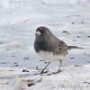 Dark-eyed Junco <br /> Bridgeton, MO <br /> 2004-02-01<br /> <br /> No. 3 on my Lifetime List of Birds <br /> Photographed in Missouri