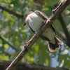 Eastern Kingbird<br /> Creve Couer lake