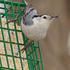 White-breasted Nuthatch <br /> Bridgeton, MO <br /> 2005-03-27<br /> <br /> No. 21 on my Lifetime List of Birds <br /> Photographed in Missouri