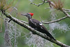 Pileated woodpecker in Spanish moss