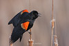 Red winged blackbird on cattails