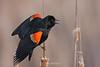 Red winged blackbird on cattails