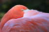 Sleepy flamingo