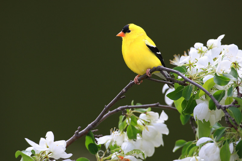 Goldfinch on blossoms