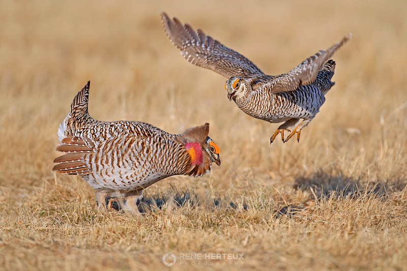 Dueling prairie chickens