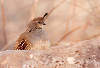 Female Gambel's quail