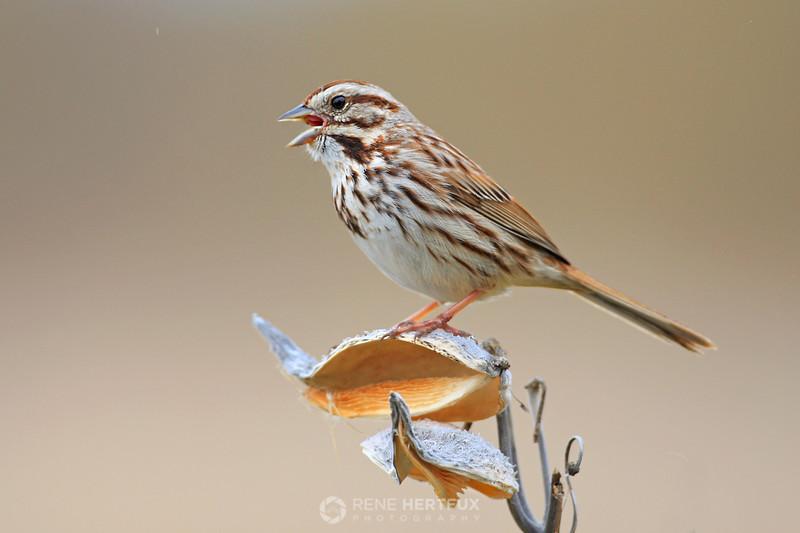 Song sparrow on milkweed