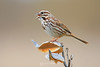 Song sparrow on milkweed