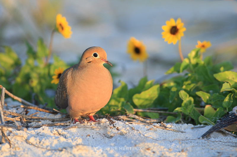 Dove in beach flowers