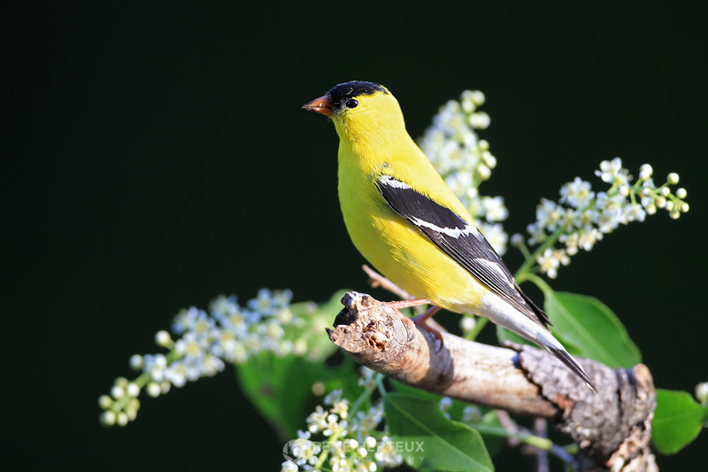 Goldfinch in flowers
