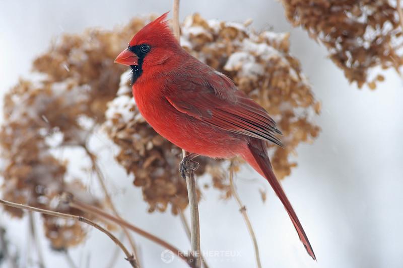 Cardinal on hydrangea