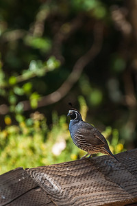California Quail, one of the most skittish birds that come near the house.
