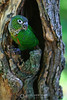 Conure in tree hollow