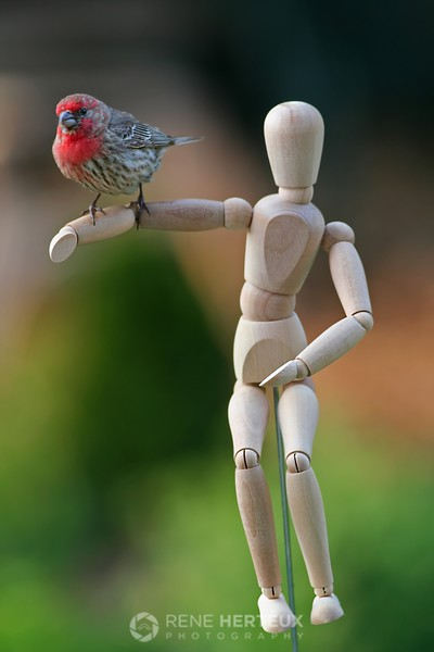 House finch on mannequin