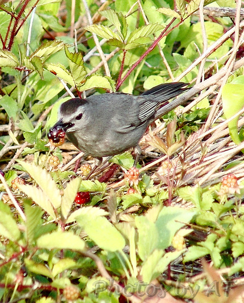 Gray Catbird<br /> North Carolina