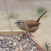 Carolina Wren <br /> Bridgeton, Missouri <br /> 2006-03-04<br /> <br /> No. 55 on my Lifetime List of Bird Species <br /> Photographed in Missouri.