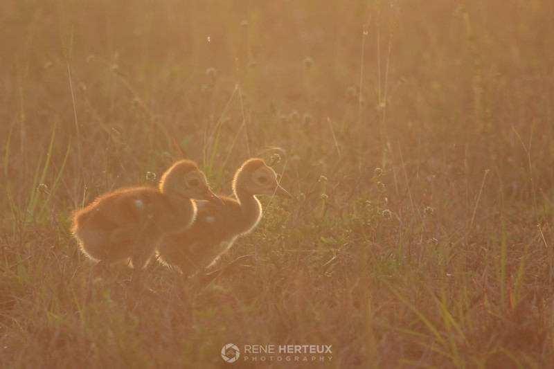 Sandhill crane chicks