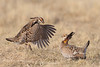 Prairie chickens fighting
