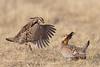 Prairie chickens fighting