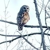 Barred Owl<br /> Busch Wildlife Area <br /> 4/17/2004