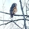 Barred Owl<br /> Busch Wildlife Area <br /> 4/17/2004