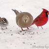 White-throated Sparrow, Mourning Dove & Northern Cardinal